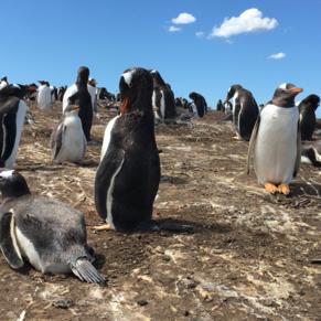 Penguins on Falkland Islands