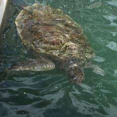 Turtle Farm turtle