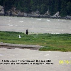A Bald Eagle flying in Skagway