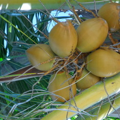 Coconuts in Cococay