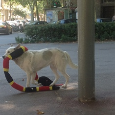 "Dog with a pet snake ""stuffie"" in Barcelona"