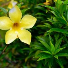 Apia, Samoa - So many beautiful blooms
