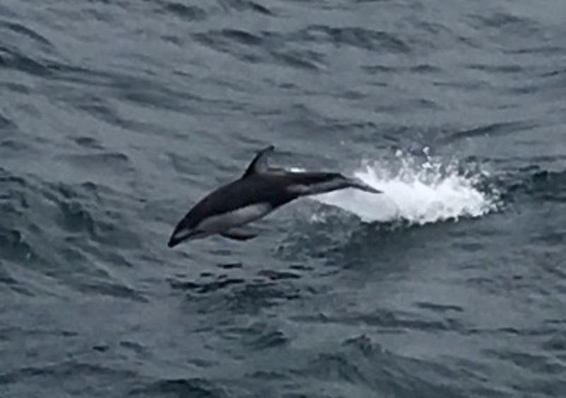 Dolphin swimming next to ship - Zaandam