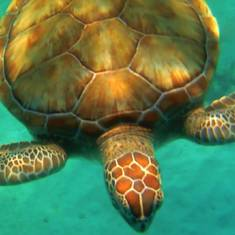 Bridgetown, Barbados - Swimming with turtles