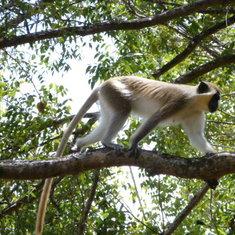 Natives Monkeys