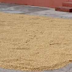 "Coffee beans drying out after initial processing. Still considered ""green""."