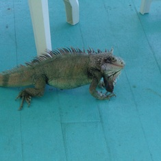Charlotte Amalie, St. Thomas - My friend Iguana