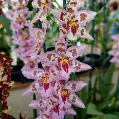 Orchid farm, Hilo