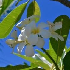 Apia, Samoa - Lovely flowers all over the island. (W. Samoa)