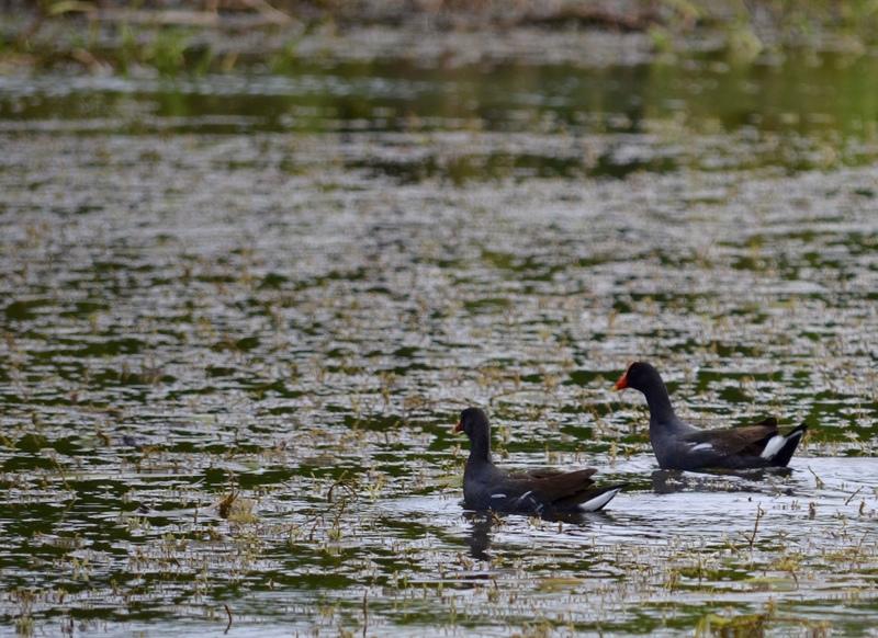 Waterfowl in Gatun Lake