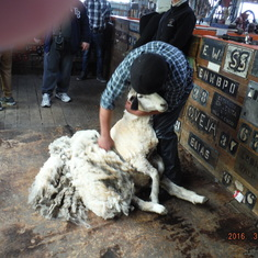 Punta Arenas, Chile - Hand sheep sheering