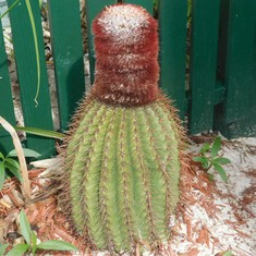 Grand Turk Island - An unusual cactus
