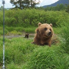 Anchorage, Alaska - Brown bears at the Alaska Wildlife Conservation Center
