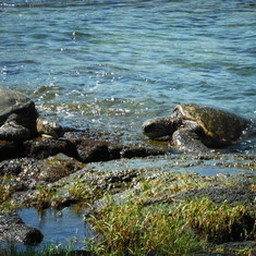 (2) SEA TURTLES