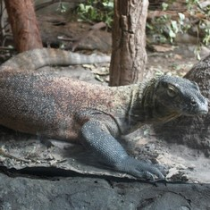 Komodo Dragon at Taronga Zoo