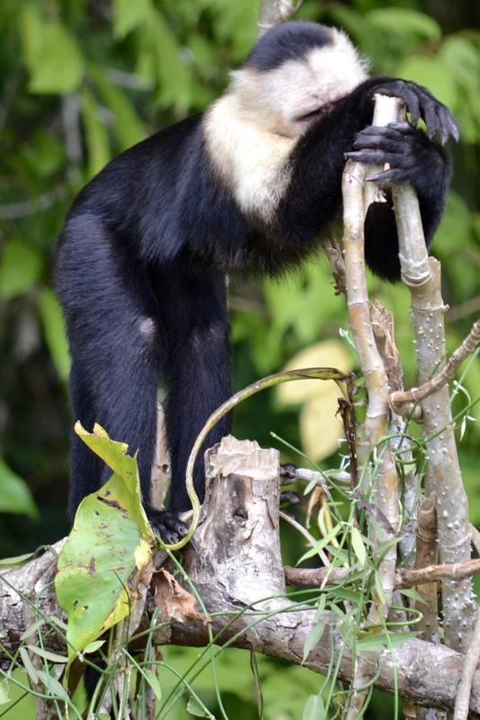 Forlorner capuchin... we had no food to give him.