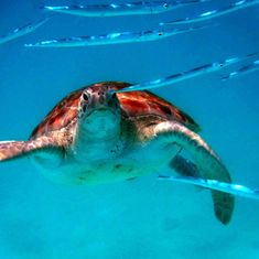 Barbadian sea turtle