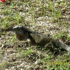 George Town, Grand Cayman - Iguana!