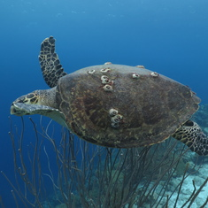 Kralendijk, Bonaire - We swam with lots of  turtles!