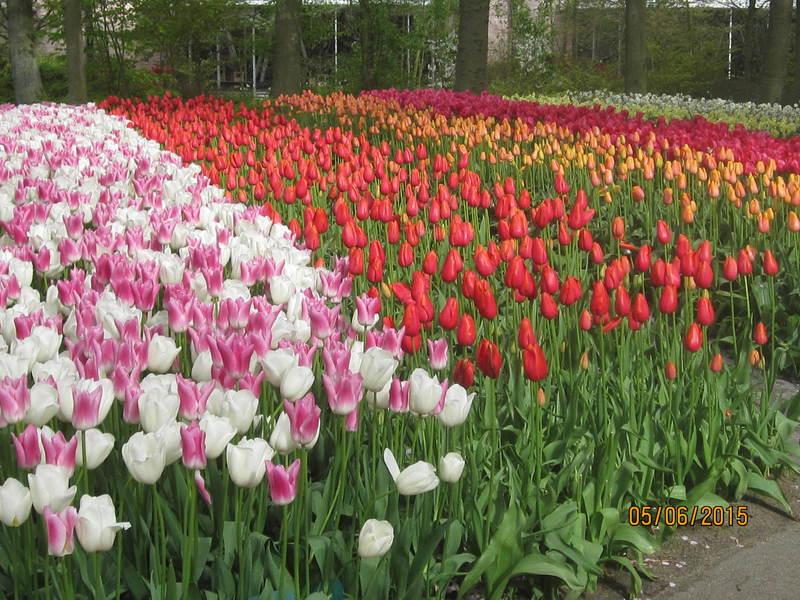 more tulips - Viking Hlin