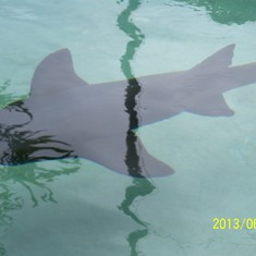 A shark I swam with at Coral World.