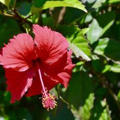 Lovely flowers all over the island (W.Samoa)