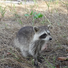 Freeport, Grand Bahama Island - The Friendly racoons of Gold Rock Beach