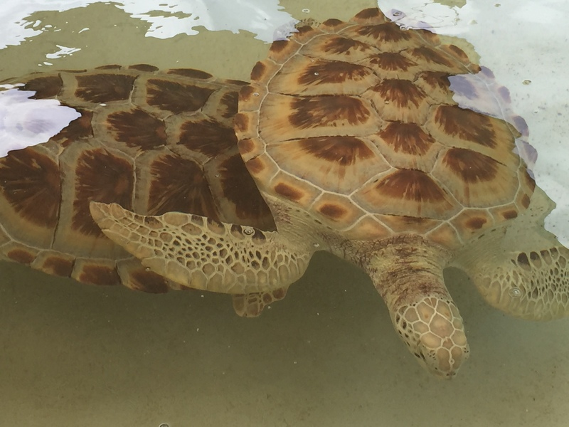 Turtle Farm turtles - MSC Divina