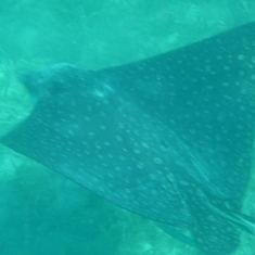 Spotted Eagle Ray, Christmas Cove, Great St. James Island