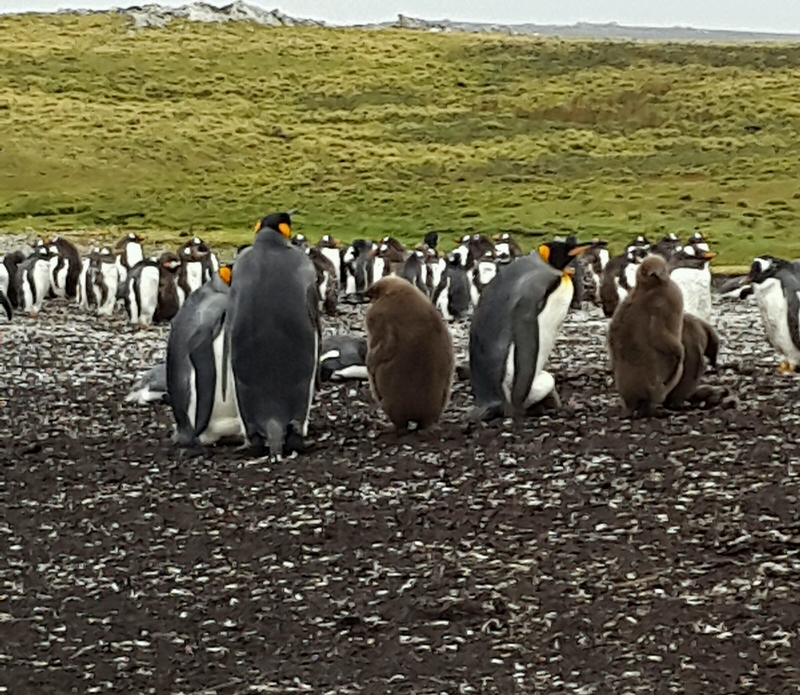 King penguins of Bluff Cove