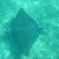 Charlotte Amalie, St. Thomas - Spotted Eagle Ray, Christmas Cove, Great St. James Island